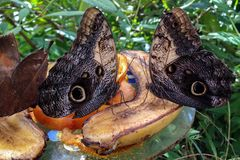 Tropic Butterflies, eating Banana&Orange. Tropic Butterflies eating Banana&Orange, Butterfly Village among varied greens and planets. Istanbul Butterfly Village stock photography