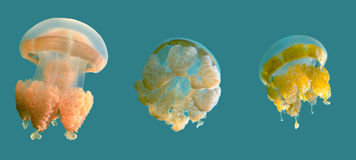Tropic exotic Jellyfish over blue background Royalty Free Stock Photos