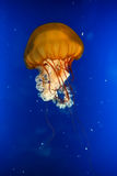Tropic exotic Jellyfish over blue sea background Royalty Free Stock Photos