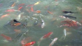 Tropic fish close up shot. Flock of tropic orange fish on Phuket island stock video
