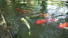 Tropic fish close up shot. Flock of tropic orange fish on Phuket island stock video footage
