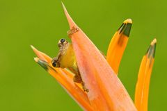 Tropic frog Stauffers Treefrog, Scinax staufferi, sitting hidden in the orange bloom flower. Frog in the nature tropic forest habi. Tat Stock Image