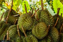 Tropic fruit durian on market table. Royalty Free Stock Photo