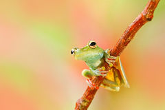 Free Tropic Nature In Forest. Olive Tree Frog, Scinax Elaeochroa, Sitting On Big Green Leaf. Frog With Big Eye. Night Behaviour In Cost Royalty Free Stock Photo - 91591325