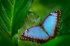 Tropic nature in Nicaragua. Blue butterfly, Morpho peleides, sitting on green leaves. Big butterfly in forest. Dark green vegetati. Tropic nature in Nicaragua stock image