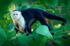 Tropic nature. White-headed Capuchin, black monkey sitting on tree branch in the dark tropical forest. Wildlife of Costa Rica. Tra. Vel holiday in Central stock photography