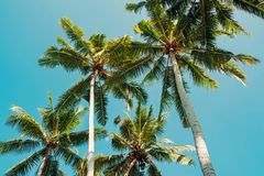 Tropic palms over the clean blue sky on a sunny day, view from the ground. Toned photo stock images