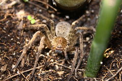 Tropic spider. Gold cane spider standing on the ground Stock Photo