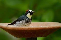 Tropic woodpecker in dish. Woodpecker, Costa Rica mountain forest, Acorn Woodpecker, Melanerpes formicivorus. Bird sitting on ston Stock Photos