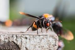 Tropica della vespa Immagini Stock Libere da Diritti