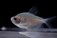 Tropical. A fruit tetra swims near the bottom of a fish bowl royalty free stock image