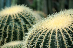 Tropical african cactus Royalty Free Stock Images