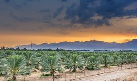 Palm plantation near Eilat. Tropical agriculture in the Middle East Stock Image