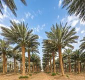 Plantation of date palms near Eilat. Tropical agriculture in the Middle East Stock Images