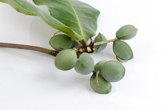 Tropical almond, Bengal almond, Indian almond, Sea almond, Beach almond. Stock Photos