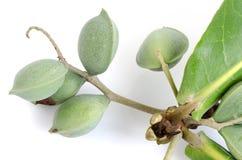 Tropical almond, Bengal almond, Indian almond, Sea almond, Beach almond. Stock Image
