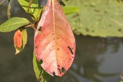 Tropical almond, Bengal almond, Indian almond, Sea almond, Beach almond (Terminalia catappa). Leaves. Royalty Free Stock Photos
