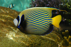 Tropical angel fish with stripes Royalty Free Stock Photography