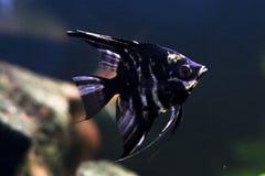 Tropical angelfish Stock Photography