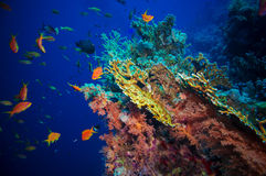 Tropical Anthias fish with net fire corals Royalty Free Stock Photos