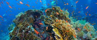 Tropical Anthias fish with net fire corals Royalty Free Stock Image