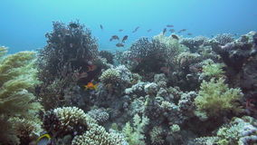 Tropical Anthias fish with net fire corals. On Red Sea reef underwater stock footage