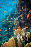 Tropical Anthias fish with net fire corals Stock Photo