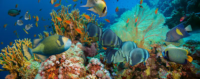 Tropical Anthias fish with net fire corals. On Red Sea reef underwater stock photography