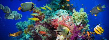 Tropical Anthias fish with net fire corals Royalty Free Stock Photo