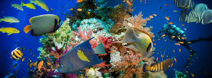 Tropical Anthias fish with net fire corals. On Red Sea reef underwater royalty free stock images