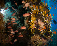 Tropical Anthias fish with net fire corals and shark. On Red Sea reef underwater stock images