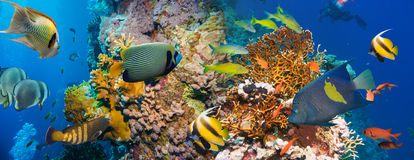 Tropical Anthias fish with net fire corals and shark Stock Photo