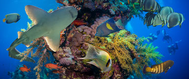 Tropical Anthias fish with net fire corals and shark. On Red Sea reef underwater royalty free stock photos