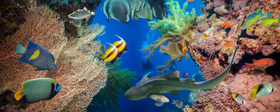 Tropical Anthias fish with net fire corals and shark Royalty Free Stock Photos