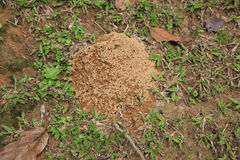 Tropical Ants Nest Stock Image