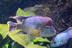 Tropical fish. Tropical Aquarium fish Stock Photography