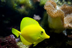 Tropical aquarium fish Royalty Free Stock Photography