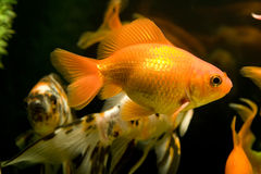 Tropical aquarium fish Royalty Free Stock Image