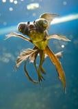 Tropical aquarium fish Stock Images
