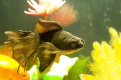 Tropical aquarium fish Stock Image
