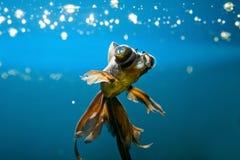 Tropical aquarium fish Royalty Free Stock Photography