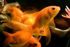 Tropical aquarium fish Royalty Free Stock Images