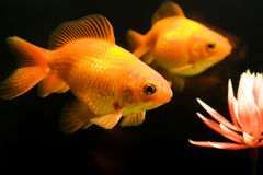 Tropical aquarium fish Stock Image