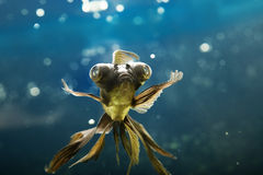 Tropical aquarium fish Stock Photography