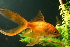 Tropical aquarium fish Stock Photography