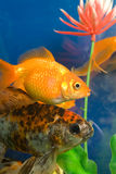 Tropical aquarium fish Stock Photos