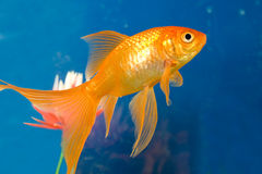 Tropical aquarium fish Royalty Free Stock Photos