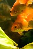 Tropical aquarium fish Stock Photos