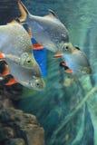 Tropical aquarium fish Royalty Free Stock Images