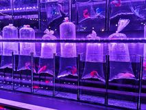 Fighting fish in the plastic for sale in street market at night stock photography